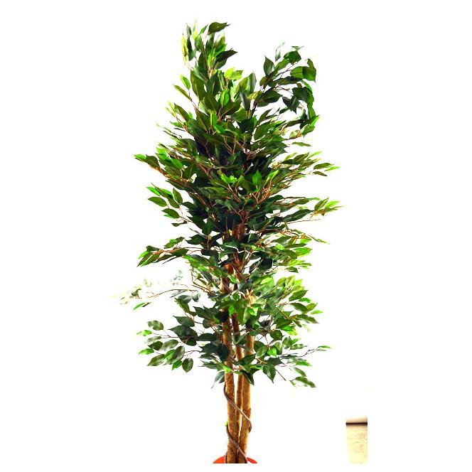 Pianta Ficus Benjamin Poliestere Tronco Legno U Piante Artificiali Ambroso  With Ficus Benjamin Potatura.