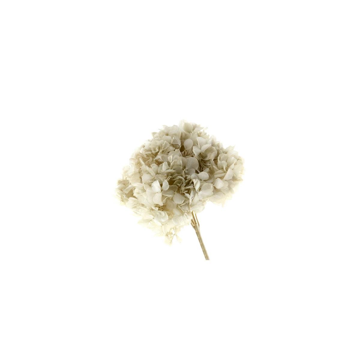 Fiori Di Ortensia Secchi mazzo ortensie essiccate — fiori secchi | ambroso